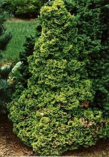 dwarf evergreen