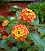 lantana is a great container addition
