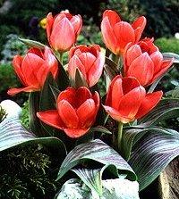 Gregeii tulips