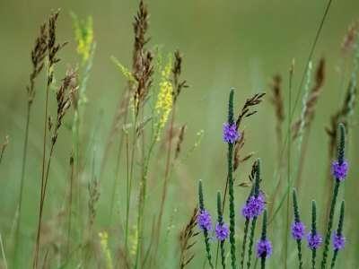 Prairie Grasses and Prairie Flowers