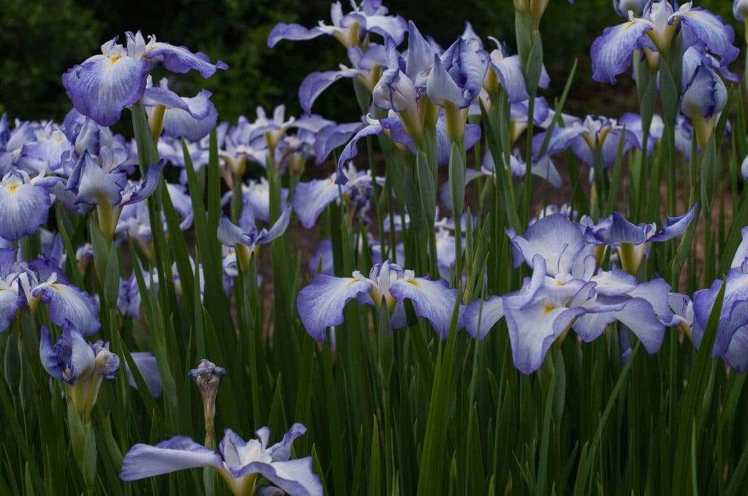 Iris plants perennial stalwarts izmirmasajfo