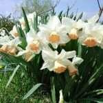 Pinkcup Daffodils