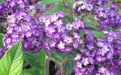 Fragrant Heliotrope