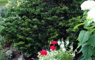 How to Grow Hinoki Cypress, The Polite Evergreen Shrub