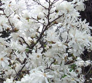Magnolia Stellata: Spring Glory