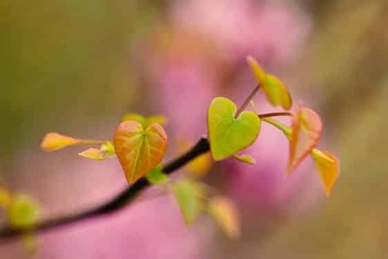 Eastern Redbud tree leaves