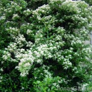Pyracantha in bloom