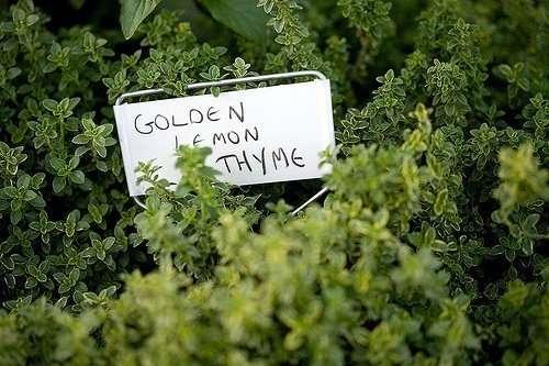 Golden Lemon Thyme