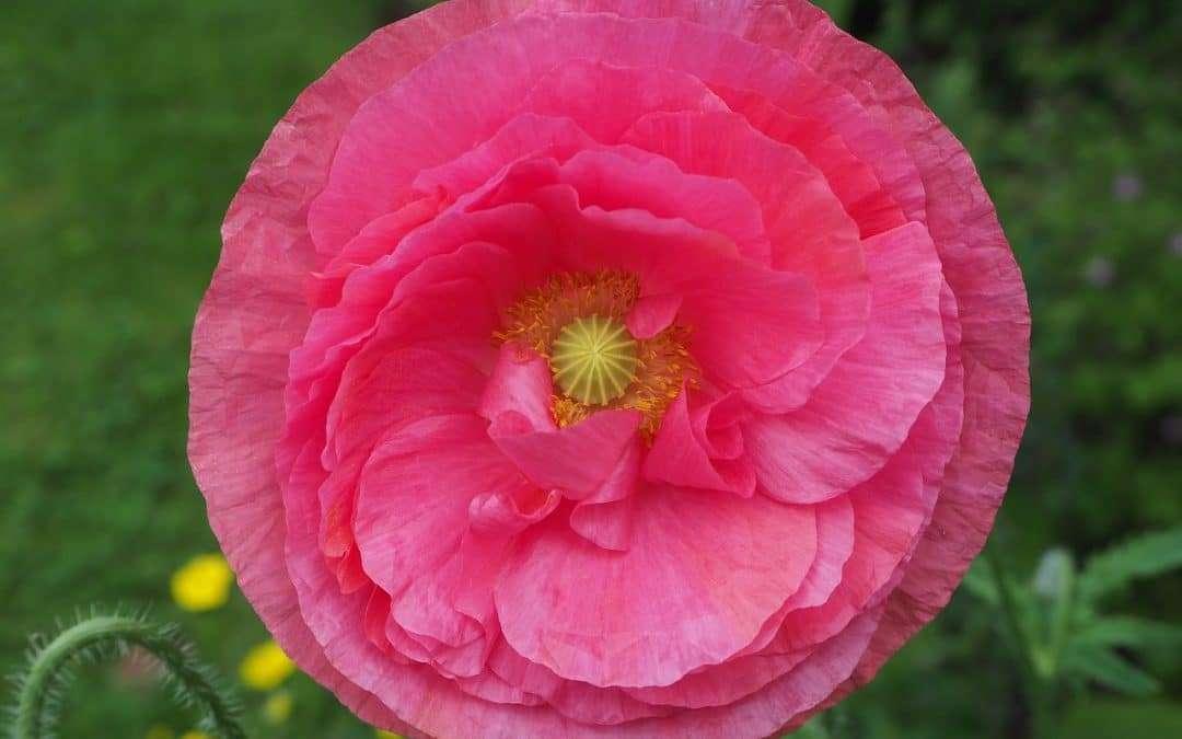Papaver Rhoeas Fairy Tale Flowers