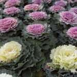 Flowering Cabbages