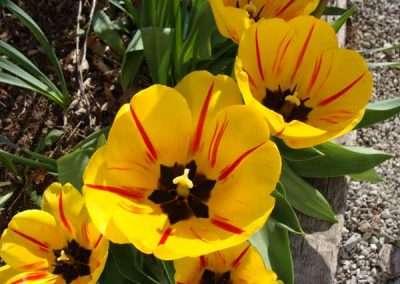 perennial tulip