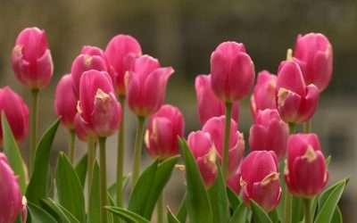 My Favorite Tulip Varieties