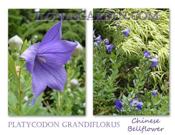 The balloon flower decorates the July garden.