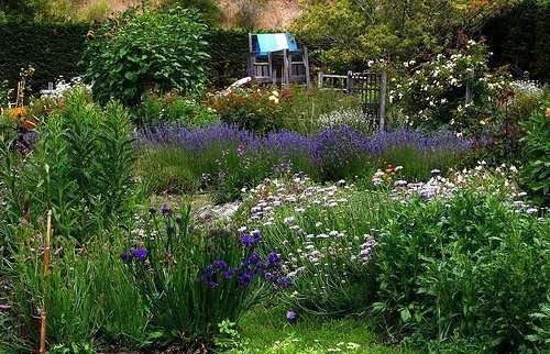 large group of blue flowers within a garden