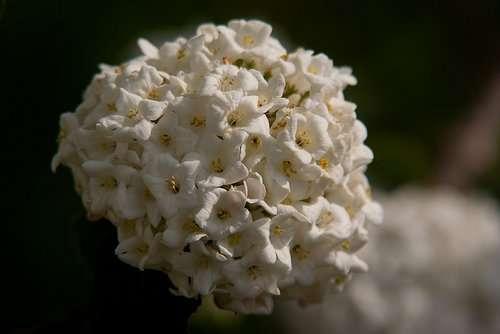 Viburnum Carlesii, Koreanspice viburnum