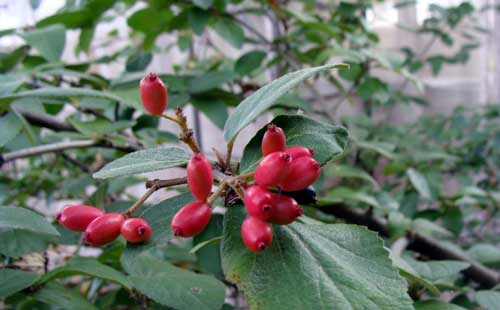 V. carlesii berries