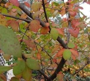 V. carlesii autumn tints