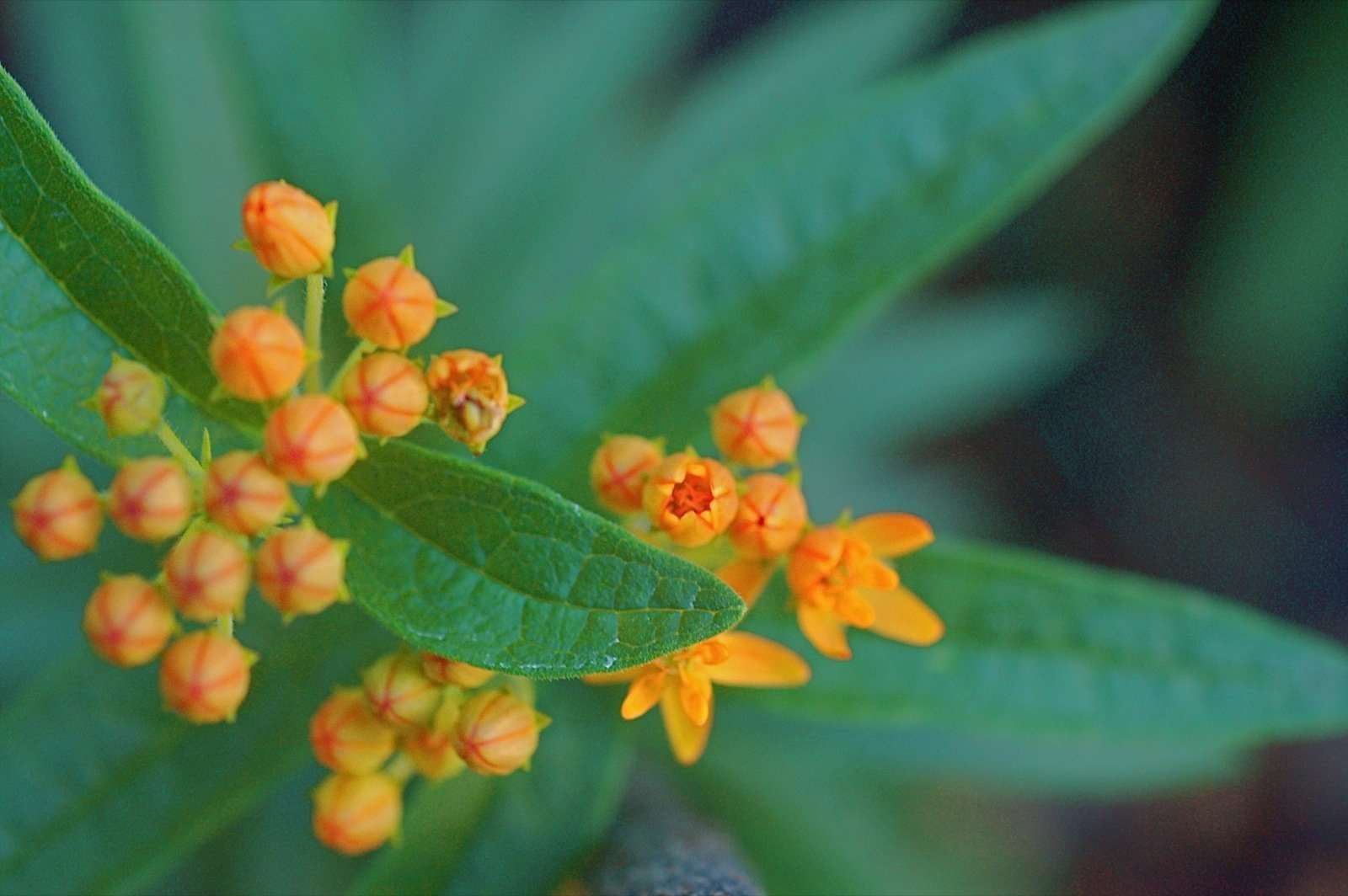 closeup of butterfly weed