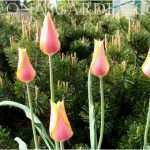 tulips against mugo pine
