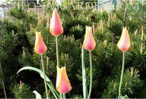 Blushing Lady, An Elegant Single Late Tulip