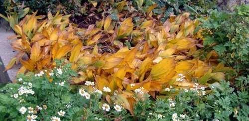 Convallaria fall foliage
