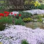 moss phlox in the garden