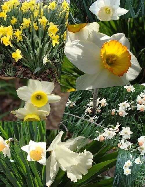 5 Steps To Dazzling Daffodils