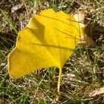 ginko leaf