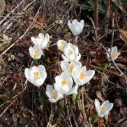 my white crocus