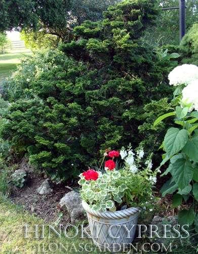 Pots of variegated geranium cintrast with hinoki cypress evergreen shrub