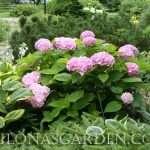 Door garden hydrangea