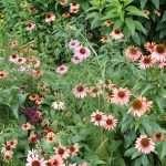 coneflower colors