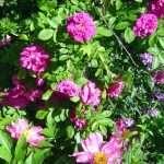 Hansa rose and peony