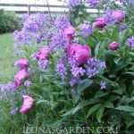peony and dames rocket