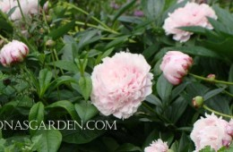Gallery of Peonies in My Garden, Early June