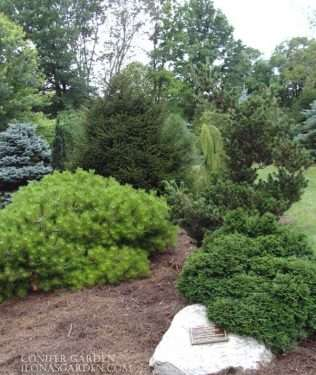 mixture of conifers