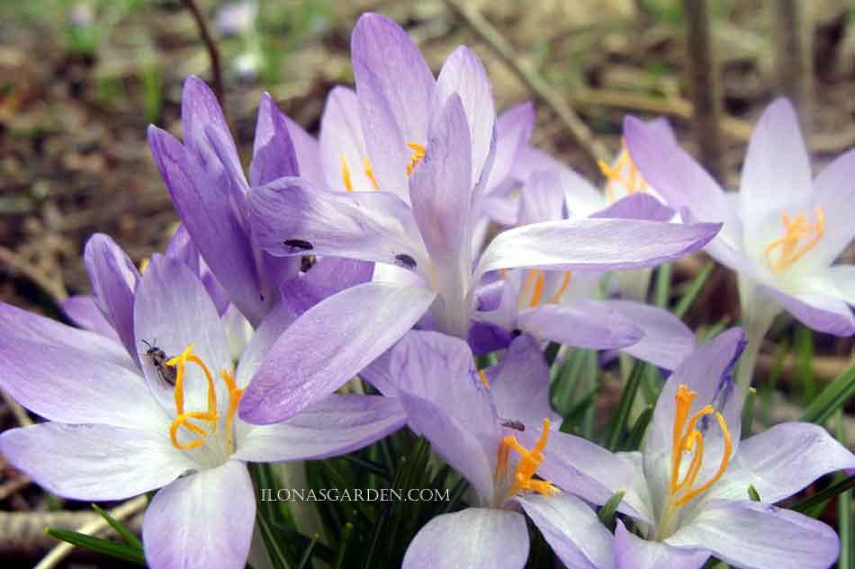 Small spring bulbs crocus mightylinksfo