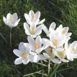 crocus white innocence