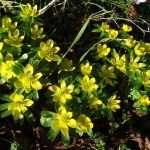 Agroup of winter aconite in a wooded area