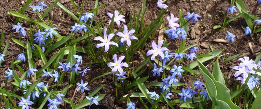 5 best small spring blooms 5 choice small bulbs for a spring garden mightylinksfo