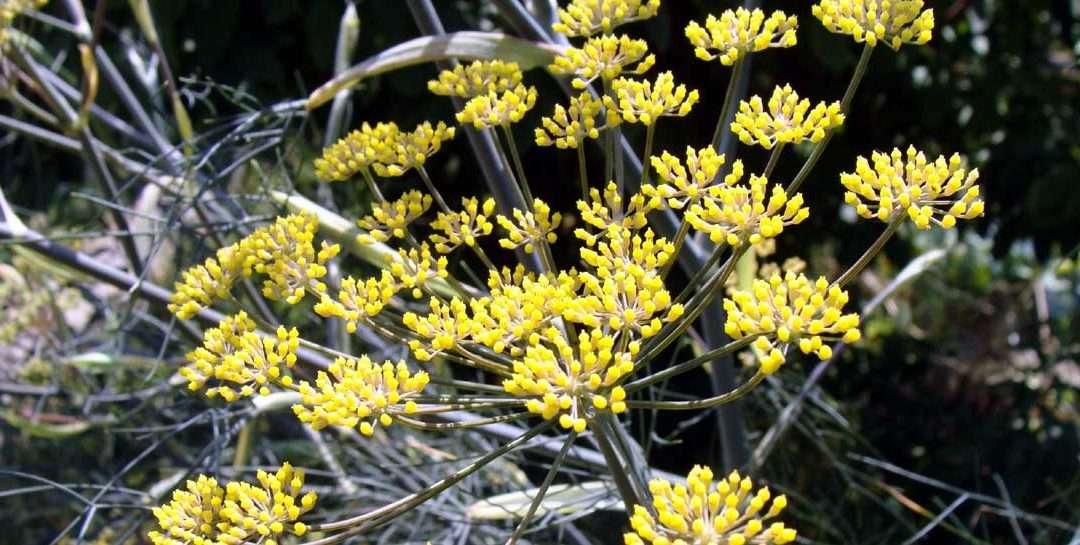 Fennel, Foeniculum vulgare