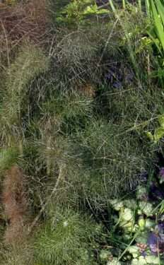 purple fennel foliage