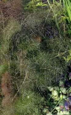 purple fennel foliage