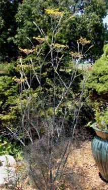 full fennel plant