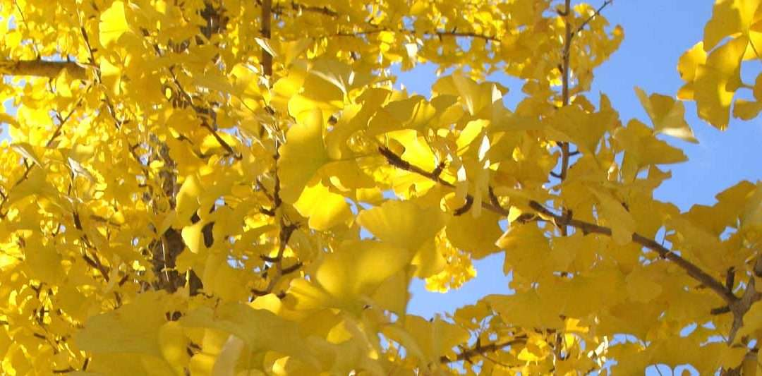 Autumn Gold Gingko Biloba