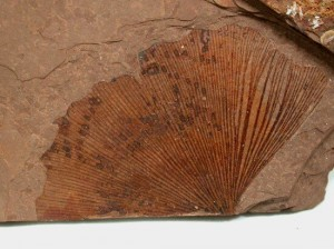 Wikipedia photo of Gingko fossil