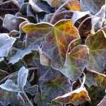 frost on the ivy