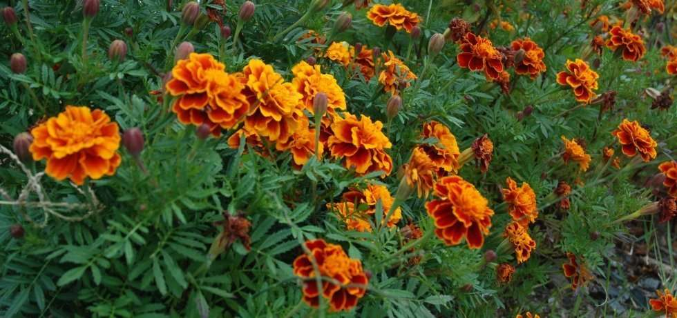 marigolds are easy seeds to plant