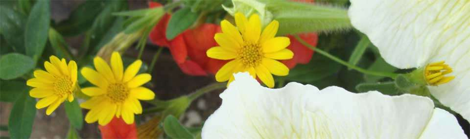 Annuals for Your Garden: Dahlberg Daisy
