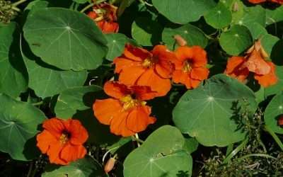 Annuals For Your Garden: Nasturtium